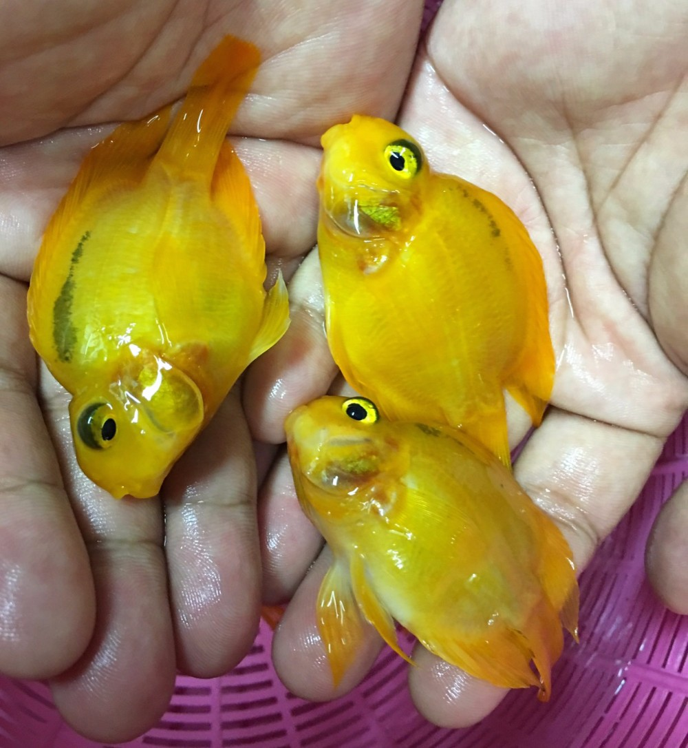 Freshwater aquarium fish exporters - Yellow Parrot Cichlid Aquarium Fish From Thailand Exporter