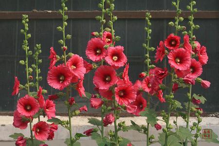 roses tr mi res fleurs promotion achetez des roses. Black Bedroom Furniture Sets. Home Design Ideas