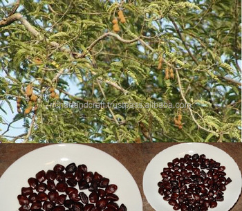 Indian Imli fruits tree seeds Tamarindus indica India Rajasthan Asia