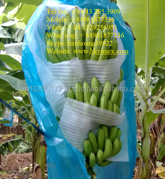 banana for import/ fresh banana/ hot sale