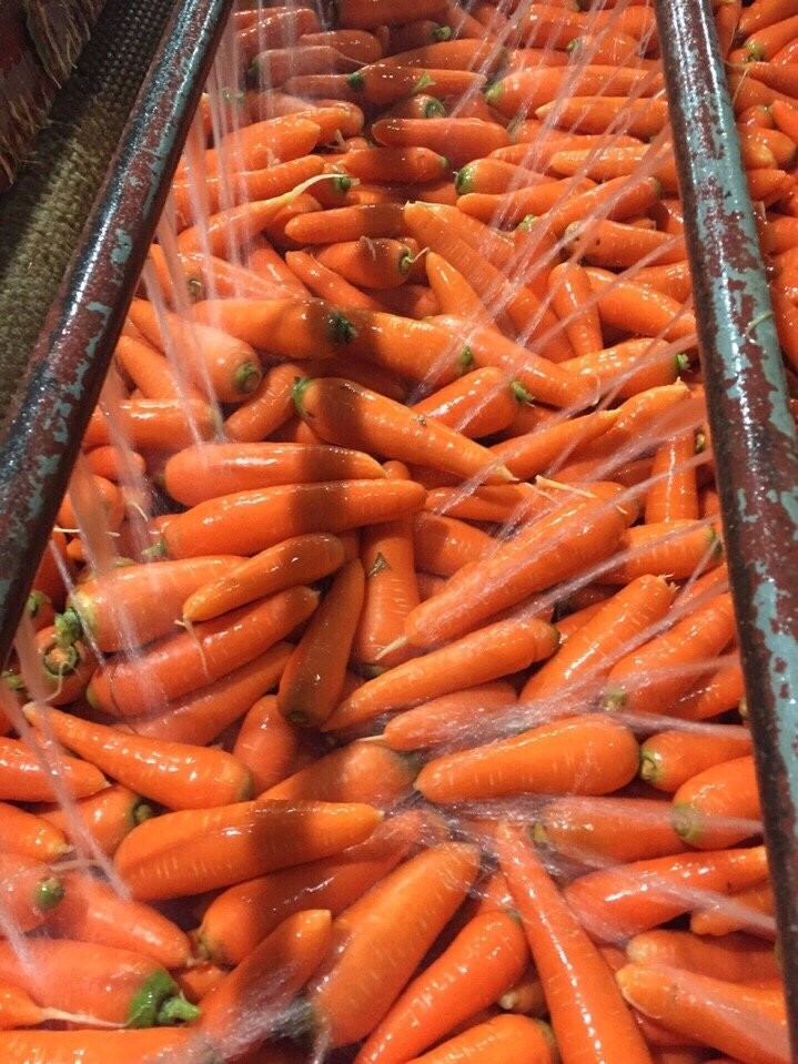 HIGH QUALITY FRESH CARROT new harvest