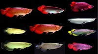 4 inches to 35 inches Arowana Fishes in Gold, Platinum , Red and Blue Colors