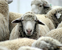 Livestock sheep for sale