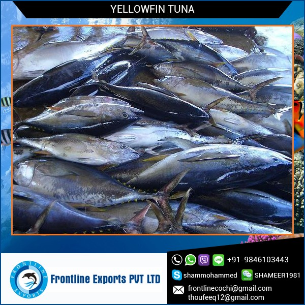 Frozen Whole Yellowfin Tuna