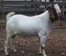 Holstein heifers,Boer Goats, Cows, Camels, Sheep for sale