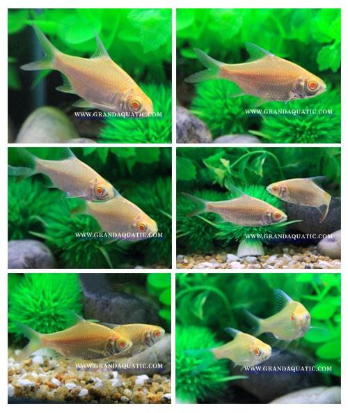 Albino Tinfoil Barb Fish For Sale / Aquarium Fish Farm
