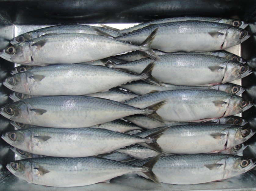how to cook mackerel fillets from frozen