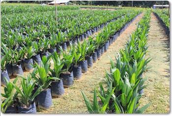 Palm Oil Trees Nursery In Gurun Kedah