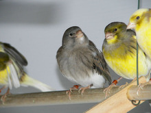 live canary yorkshire/goldfinch/parisian frill canary/lancashire