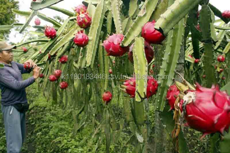 Fruit du dragon plantes greffons des arbres fruitiers des plantes et porte greffe id de produit - Arbre fruit du dragon ...