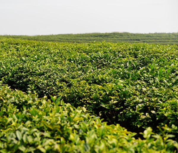 Loose tea factory 41022AAA green tea price - 4uTea   4uTea.com
