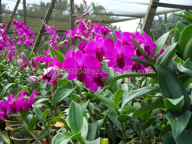 dendrobium orchid plants dendrobium orchid plants suppliers and at alibabacom