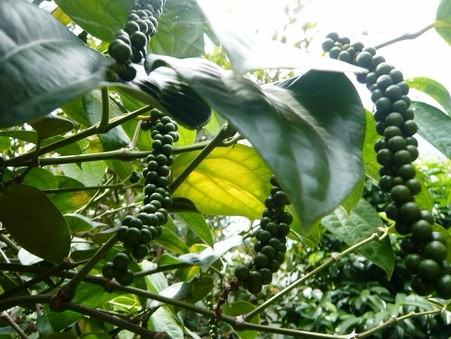 Thai Black Pepper Essential Oil : ISO, GMP Certified : High Quality Best Price