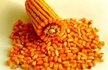 Yellow Corn prices for animal feeding