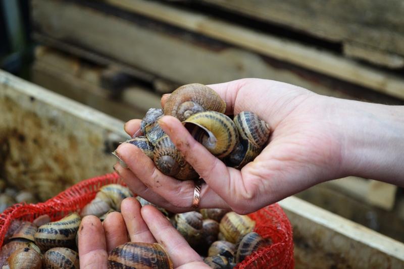 Live Helix Aspersa Maxima Snails