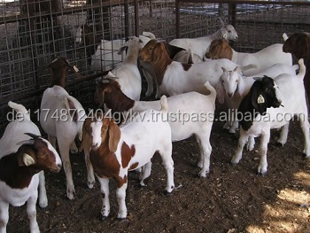 Boer Goats for sale / Live Goats for sale..
