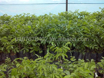 Chandler Walnut Fruit Tree Sapling Seedling Plant Plants Nursery