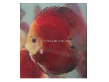High Quality Discus Fish Breeder,Freshwater Fish Ecporter,Wholesaler Live  Aquarium Fish - Buy Discus Fish Breeders,Ornamental Fish,Live Fish Product