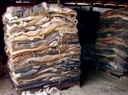 Raw cattle/Cow hides and skin