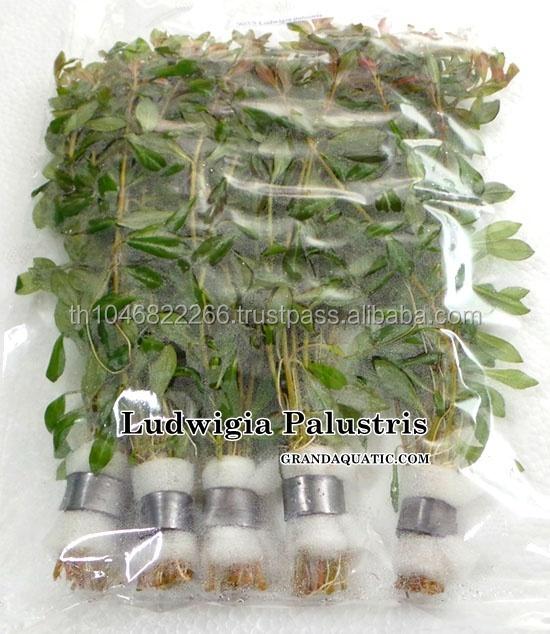 Ludwigia Palustris / Live Aquariums Plants Thailand Exporter
