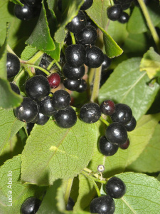 Maqui Berry Seeds For Planting Buy Maquiberry Aristotelia