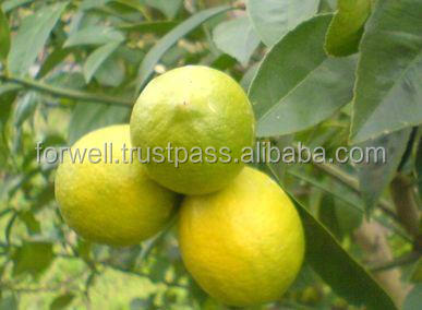 Look! good price new fresh lemon in egypt best quality