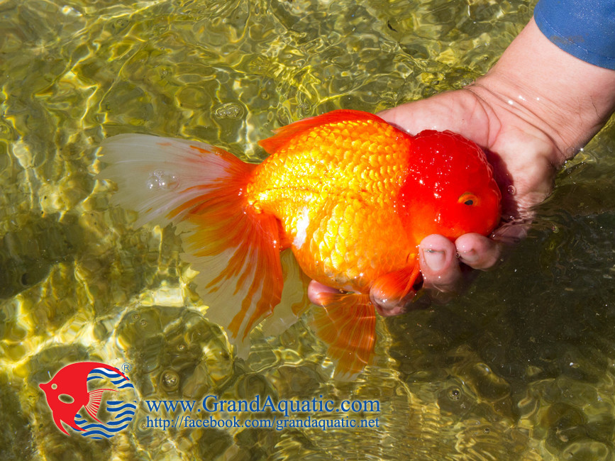 Live tropical gold fish buy gold fish tropical gold fish for Buying fish online
