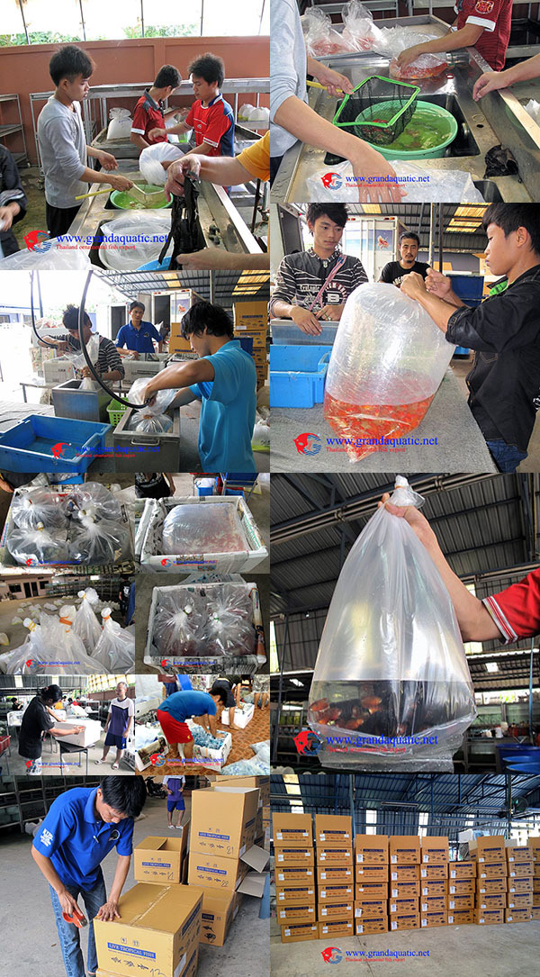 Guppy Fish Xxl Size For Aquarium Fish Export