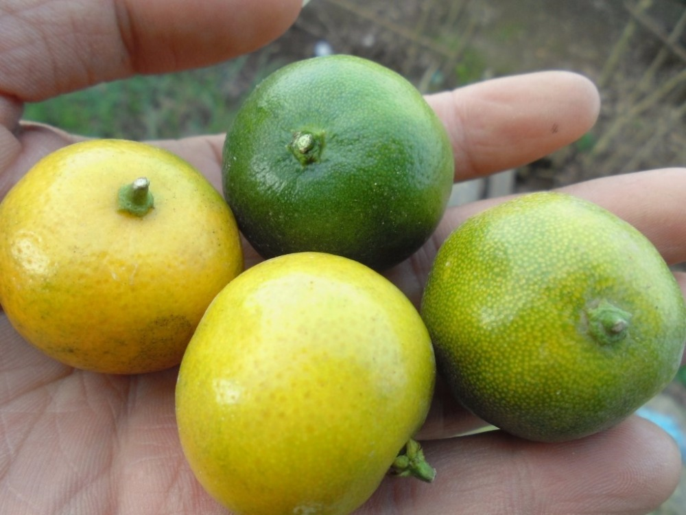 fresh Calamansi / whatsapp +84963818434