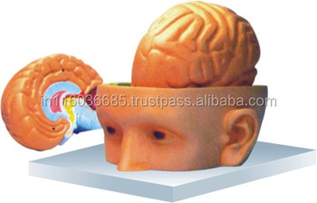 Human Head And Brain Model 3 Parts - Buy Human Head Model,Human Brain  Model,Human Head And Barin Model Product on Alibaba com
