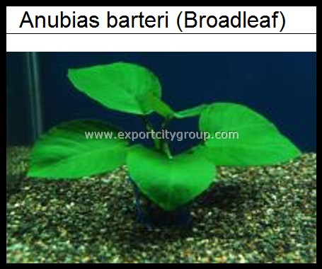 Live Aquatic Plants - anubias barteri BROADLEAF