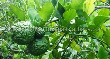 kaffir lime tree - Kaffir Lime Tree