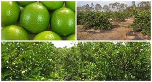 Fresh Seedless Lime HIGH QUALITY, WITH BEST OFFER