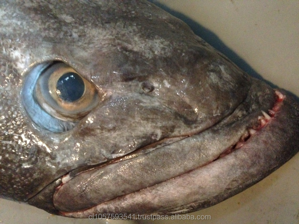 Patagonian Toothfish or Real Chilean Seabass