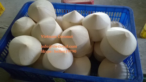 MANUFACTURE FRESH COCONUT with cheap price