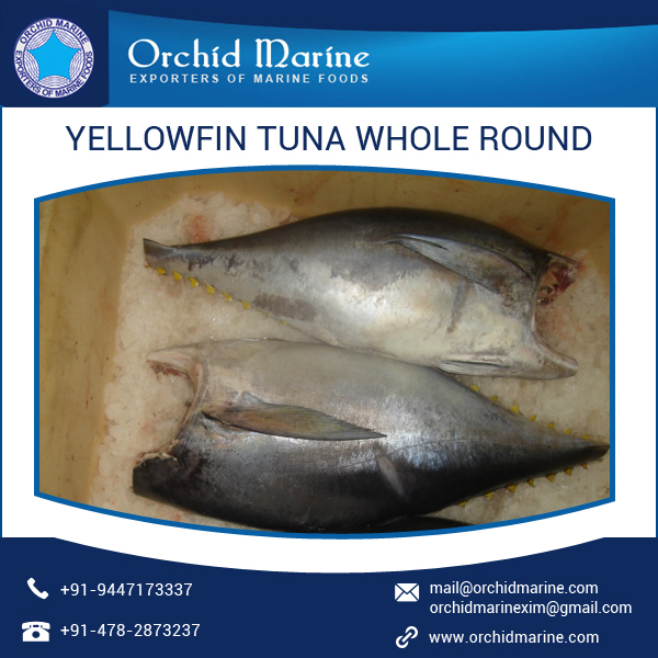 High Concentrated Whole Yellowfin Tuna Frozen at Leading Market Price