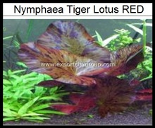 Levende Waterplanten-<span class=keywords><strong>Nymphaea</strong></span> Tijger Lotus rood
