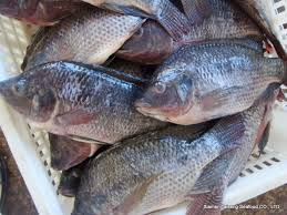 PROMOTION ON FROZEN TILAPIA WHOLE ROUND/WGG/FISH, SEAFOOD