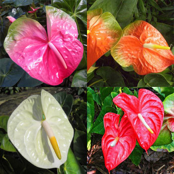 Flower Republic Anthurium Pink Champion Price In Sri Lanka Flowers