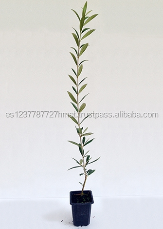 Arbequina olive trees / live plants