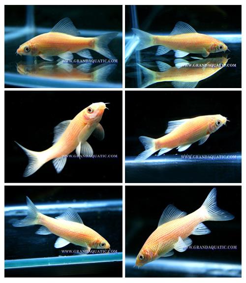 Black Shark Albino Fish Farm For Sale / Aquarium Fish Thailand ...