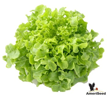 Lettuce Seed -