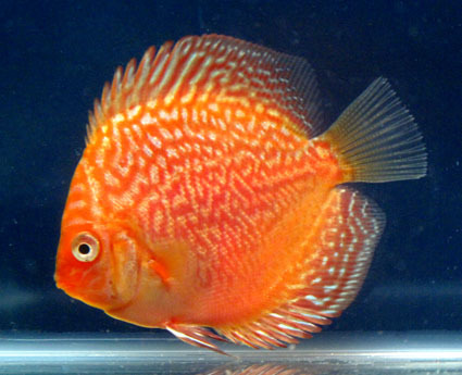 Discus fish from thailand buy discus fish product on for Live discus fish for sale