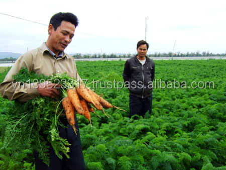 Fresh Carrot size 2L
