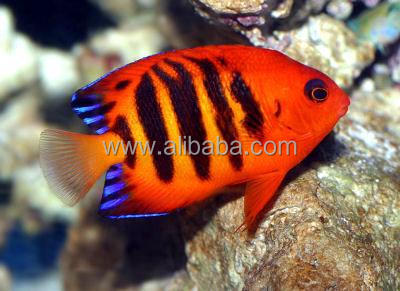 Imported Marine Aquarium Fish