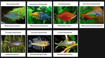 Imported Tropical Fish - Imported Killi Fish - Imported Planted ...