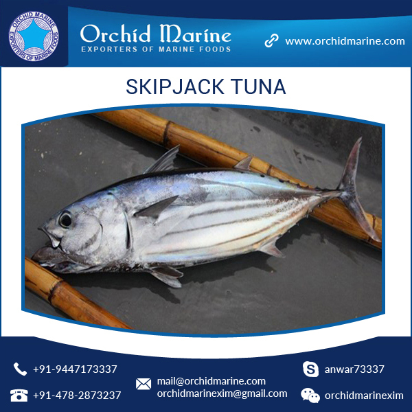 Marine Delicious Food Skipjack Tuna Whole Round by Leading Sea Food Exporter