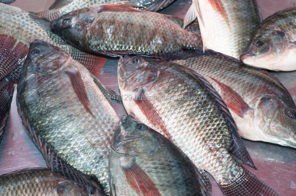 Feed Probiotics For Tilapia Fish