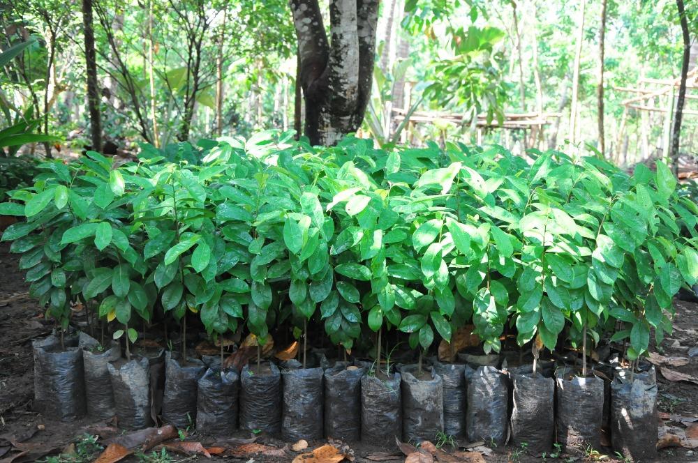 Soursop/guyabano/graviola Seedling