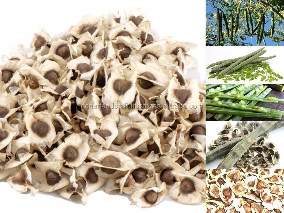 germination and plant production India Seed Indian PKM1 Moringa Oleifera Seeds
